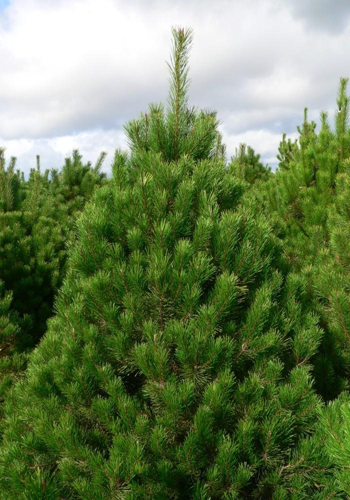 Lodgepole Pine Retail 1